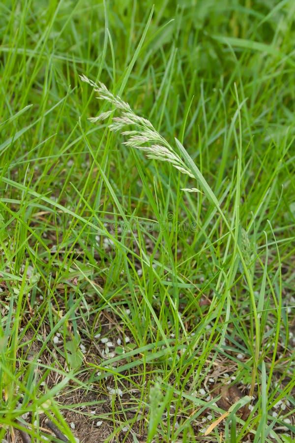 Ostrze trawa na zielonym jaskrawym tle zdjęcia royalty free