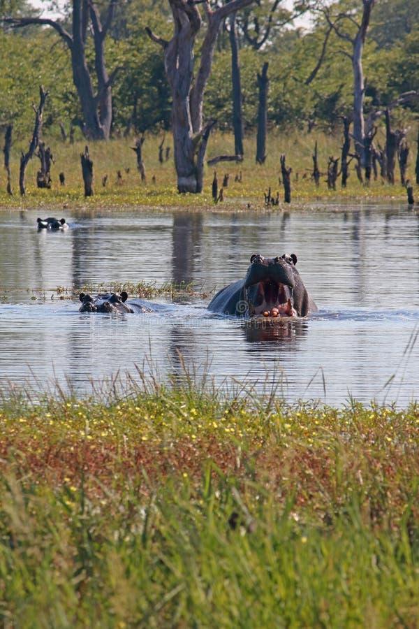 OSTRZEGAWCZY zachowanie EKSPONUJĄCY hipopotamem W basenie woda obraz stock