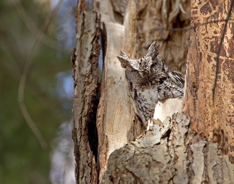 Ostschrei-eule in einem Baum stockfotos