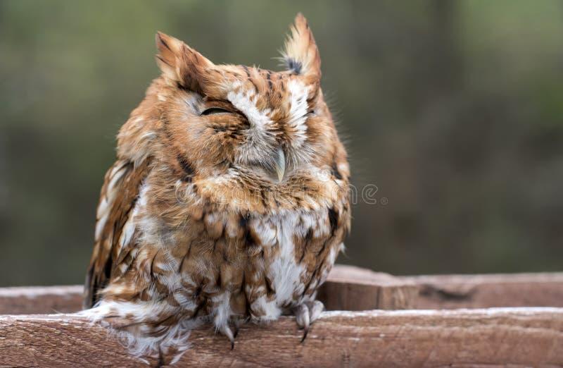 Ostschrei-Eule schlafend auf Zaunposten, Georgia USA lizenzfreies stockbild
