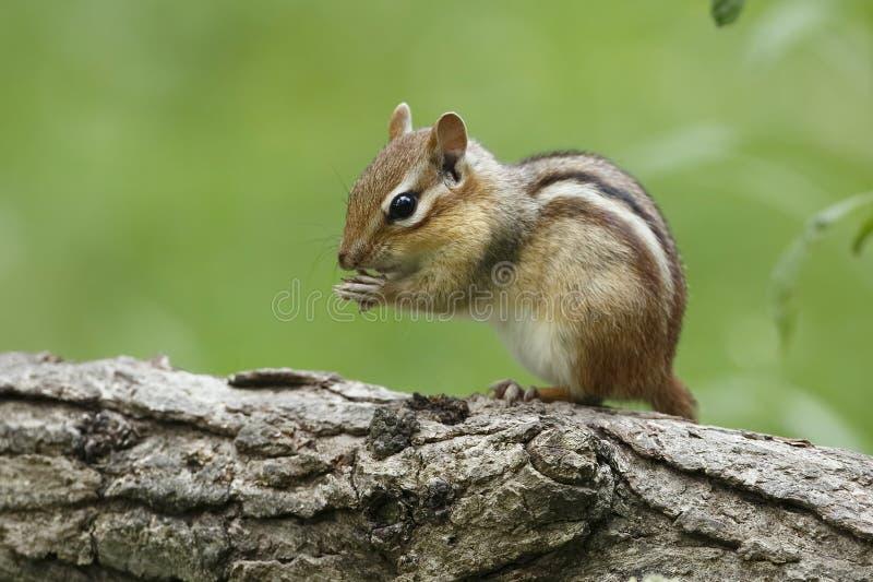 Oststreifenhörnchen auf einem Klotz lizenzfreie stockfotos