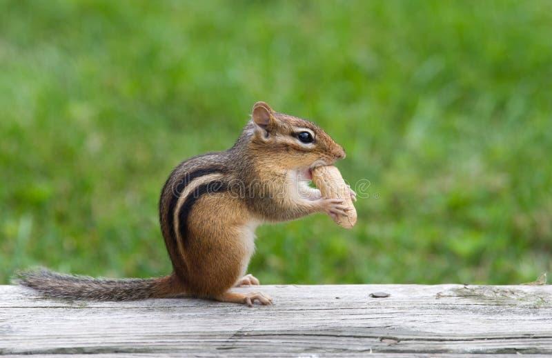 Oststreifenhörnchen, das eine Erdnuss isst lizenzfreie stockfotografie