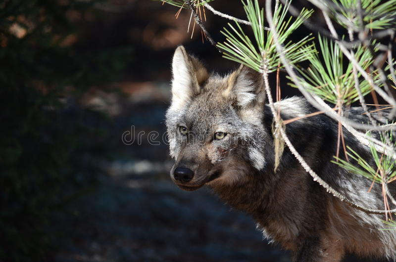 Ostwolf in der Wildnis lizenzfreie stockfotos