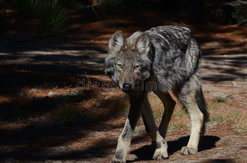Ostwolf in der Wildnis stockfotografie