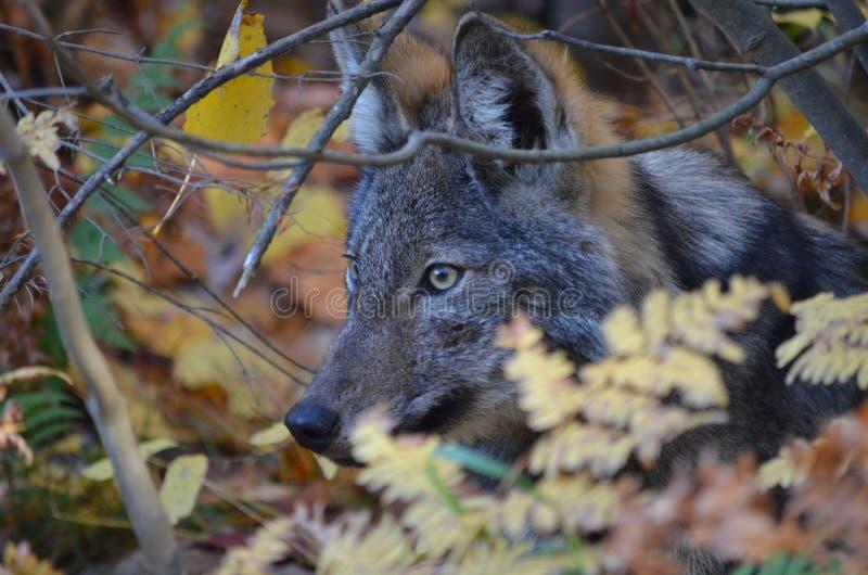 Ostwolf in der Wildnis lizenzfreies stockbild