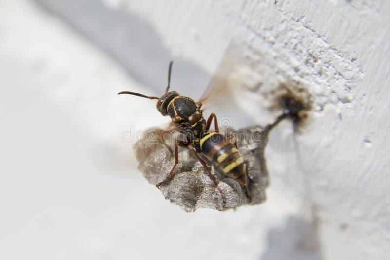 Osy i honeycomb ÐžÑ  а и Ñ  Ð ¾ Ñ 'Ñ ‹ obrazy stock