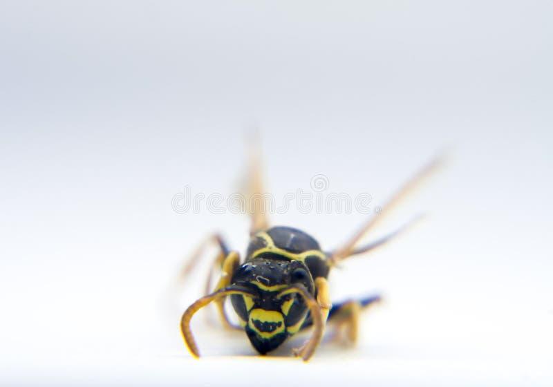 Osy Vespidae makro- fotografia zdjęcie stock