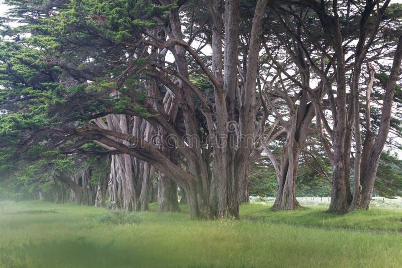 Oszałamiająco Cyprysowa aleja przy punktu Reyes Krajowym Seashore, Kalifornia, Stany Zjednoczone Bajek drzewa w pięknym dniu fotografia royalty free