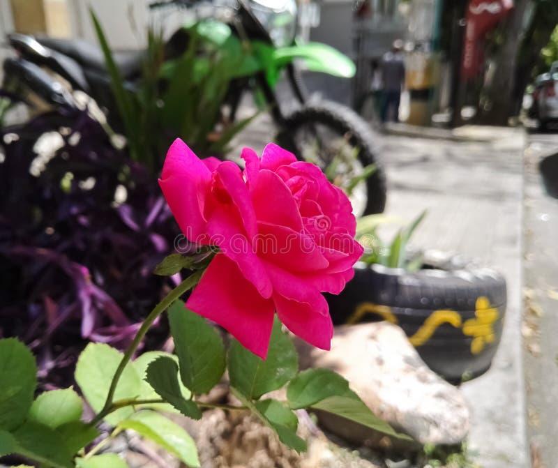 Oszałamiająco fuksj menchii róży kwiat Rosaceae, Rosa Jaskrawy magenta okwitnięcie zdjęcia royalty free