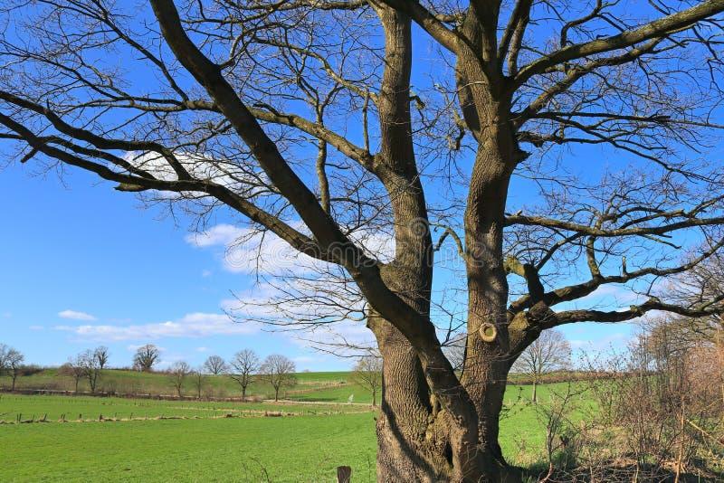 Oszałamiająco gnarled stary drzewo przed niebieskie niebo krajobrazem fotografia stock