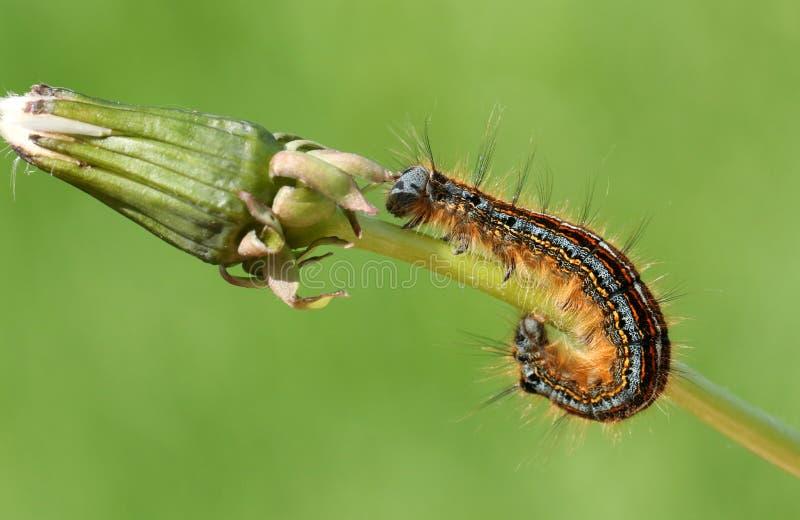 Oszałamiająco lokaja ćma Malacosoma Gąsienicowy neustria na dandelion trzonie fotografia stock