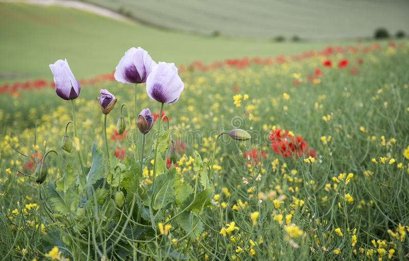 Oszałamiająco maczka pola krajobraz z purpurowymi maczkami obraz stock