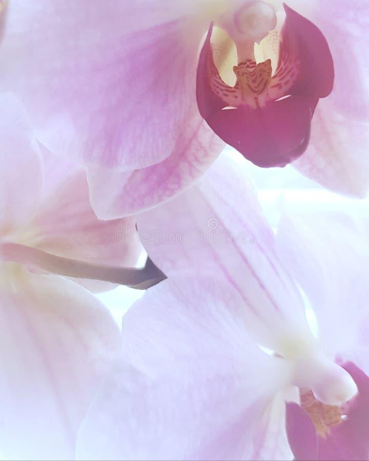 Oszałamiająco orchidea obraz stock