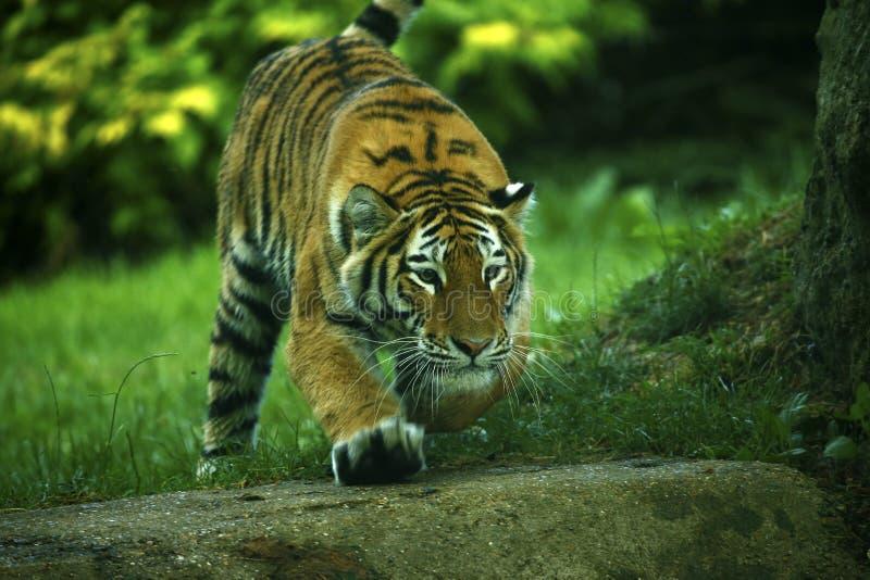Oszałamiająco piękny Amur tygrysów bawić się fotografia stock