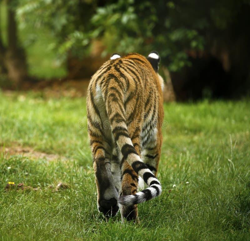 Oszałamiająco piękny Amur tygrysi tylni widok fotografia royalty free