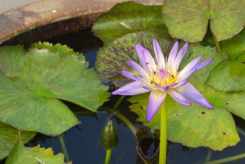 Oszałamiająco piękny zakończenie fiołek kolor żółty i, kwitnący lotosowy kwiat, mrowi się z pszczołami, w ceramicznym wodnym garn fotografia royalty free