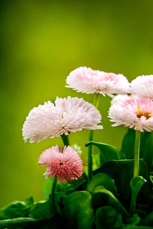Oszałamiająco różowe stokrotki obraz stock