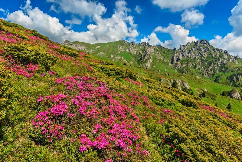 Oszałamiająco różowy różanecznik kwitnie w górach, Ciucas, Carpathians, Rumunia zdjęcia stock
