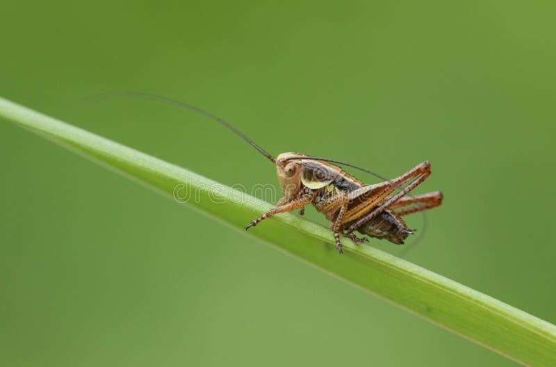 Oszałamiająco Roesel ` s krykieta Metrioptera roeselii tyczenie na ostrzu trawa obrazy royalty free