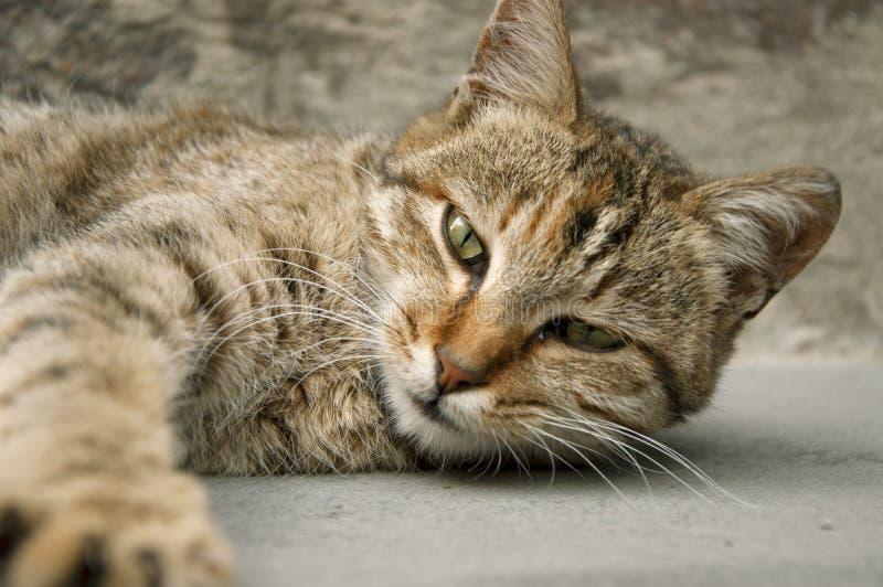 Oszałamiająco spojrzenie kot fotografia stock
