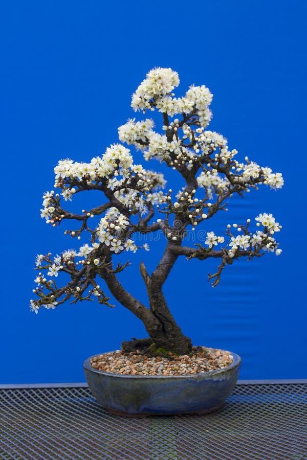 Oszałamiająco Tarninowy bonsai prunus spinosa gatunki kwiatonośna roślina w róży rodziny Rosaceae Puszkujący w Erin garnku fotografia royalty free