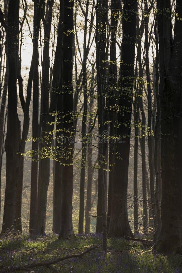 Oszałamiająco wczesnego poranku lasu krajobraz w wiośnie z światłem słonecznym zdjęcia royalty free