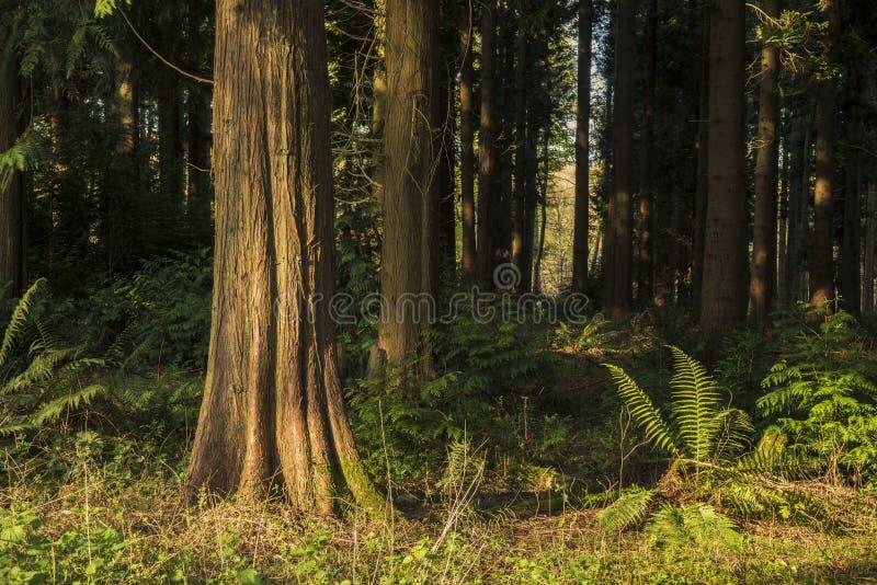 Oszałamiająco wczesnego poranku lasu krajobraz w wiośnie z światłem słonecznym obraz royalty free
