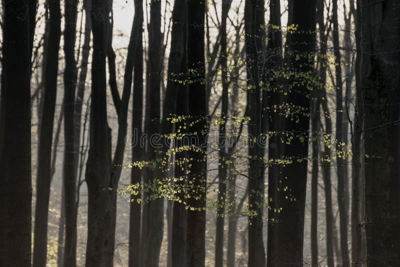 Oszałamiająco wczesnego poranku lasu krajobraz w wiośnie z światłem słonecznym obraz stock