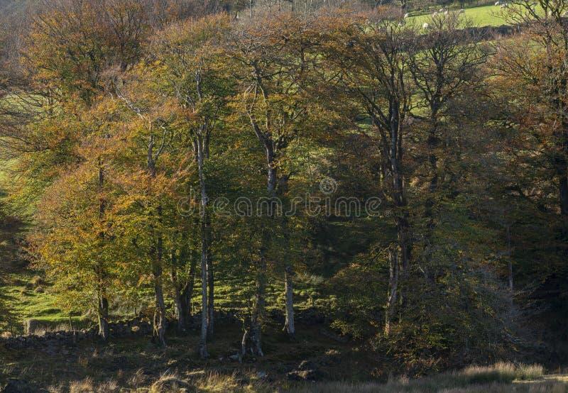 Oszałamiająco wibrującego jesień spadku lasowy las w Dartmoor z iść obrazy royalty free