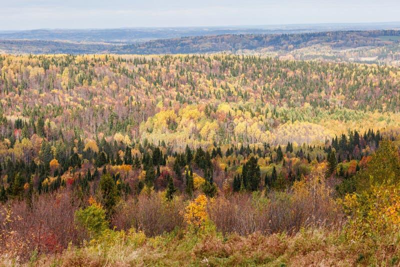 Oszałamiająco widoki Rosyjski las iglaści i deciduous drzewa w złotym okresie jesień obraz royalty free