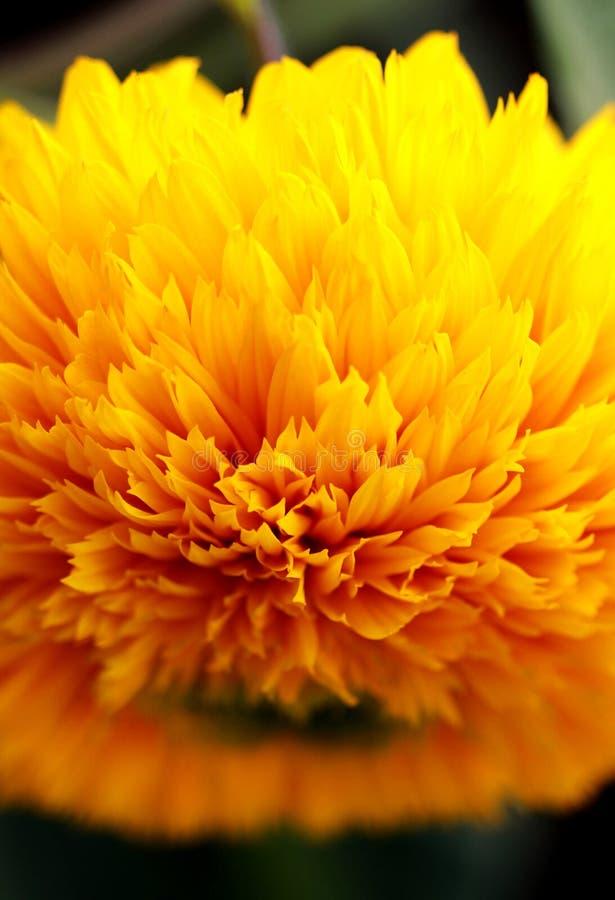 Oszałamiająco Złocisty kwiat w kwiacie zdjęcia royalty free