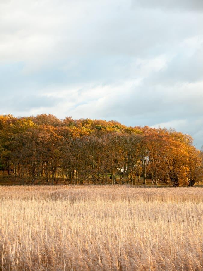 Oszałamiająco złotego płocha pięknego kraju pusta przestrzeń planuje jesień fotografia royalty free