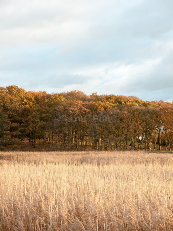 Oszałamiająco złotego płocha pięknego kraju pusta przestrzeń planuje jesień obraz royalty free