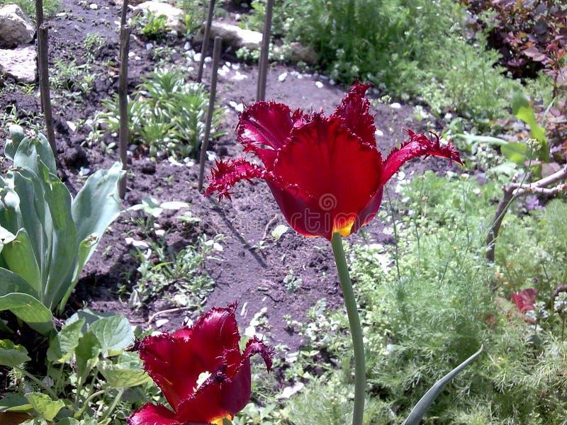Oszałamiająco zmrok - czerwony tulipanowy kwitnienie w wiosna ogródzie obraz stock