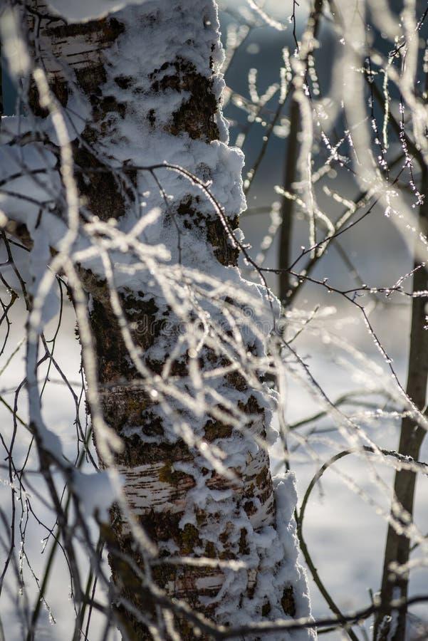 oszronieje zakrywających trawy i brzozy gałąź liście w pogodnym zima ranku świetle zdjęcie stock