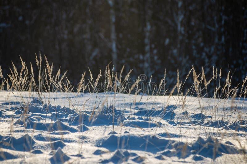 oszronieje zakrywających trawy i brzozy gałąź liście w pogodnym zima ranku świetle zdjęcia stock