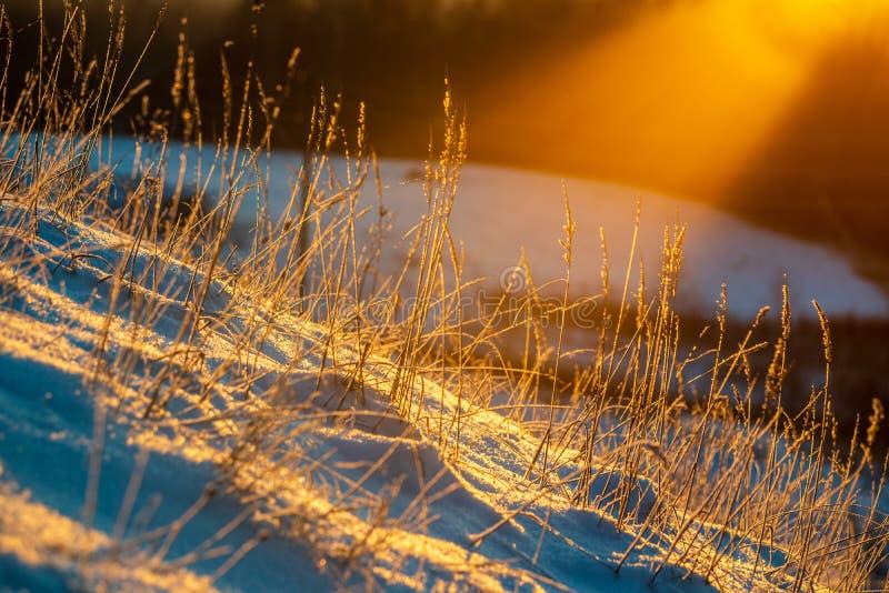 oszronieje zakrywających trawy i brzozy gałąź liście w pogodnym zima ranku świetle zdjęcie royalty free