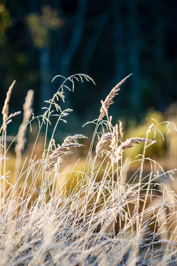 oszronieje zakrywaj?cej trawy i drzewnych li?ci w pogodnym zima ranku ?wietle zdjęcie stock