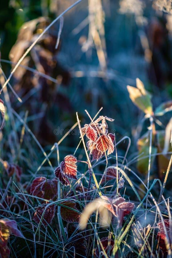 oszronieje zakrywaj?cej trawy i drzewnych li?ci w pogodnym zima ranku ?wietle obraz stock