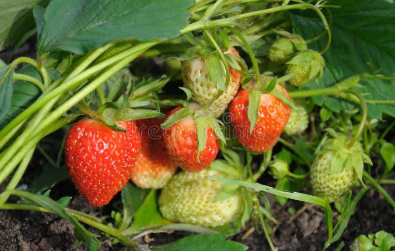 Ot de vue de plan rapproché la plantation de fraise photos stock