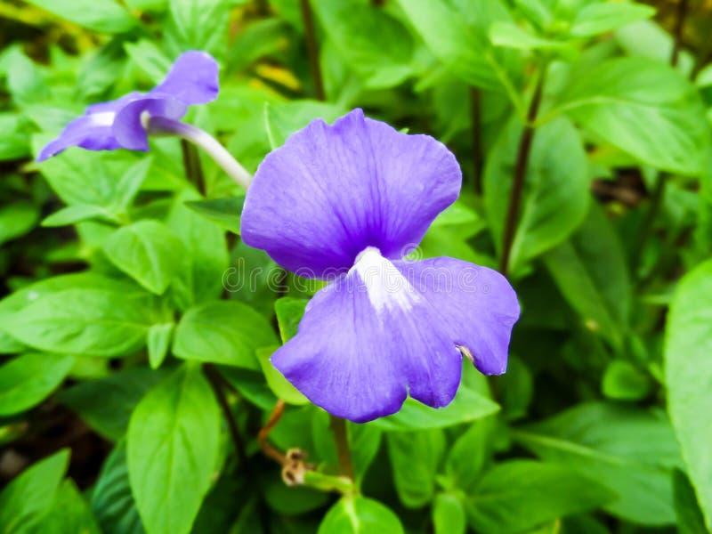 Otacanthus-caeruleus Der Name Der Purpurroten Weißen Blume, Thailand ...