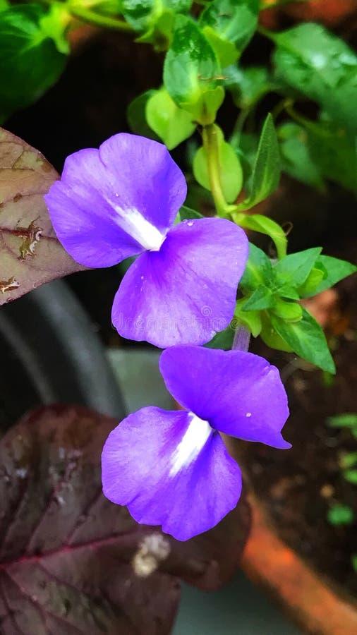 Download Otacanthus Caeruleus Lub Brazylijski Wyżlin Obraz Stock - Obraz złożonej z krzak, amazon: 106905011