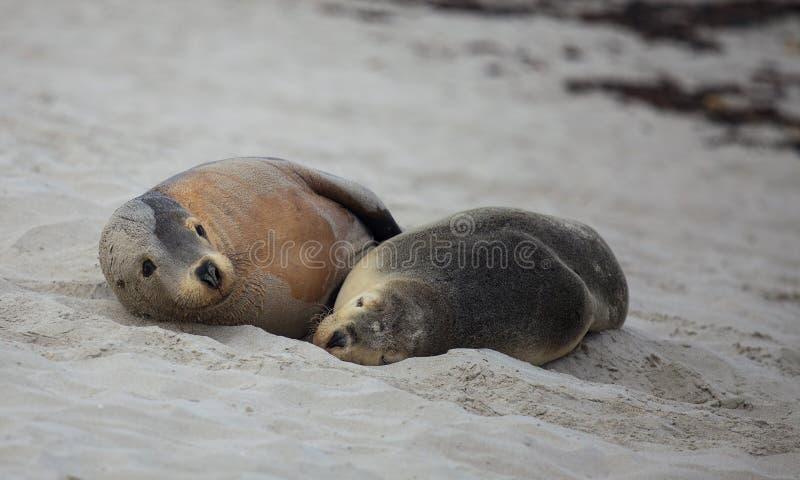 Otarie australienne de paires mignonnes, Neophoca cinerea, dormant sur la plage ? la baie de joint, ?le de kangourou, Australie d photographie stock