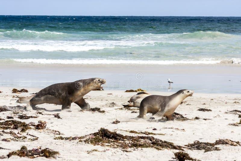 Otarie australienne exaspérée fonctionnant après une autre otarie Neophoca cinerea sur la plage d'île de kangourou, Australie du  image libre de droits