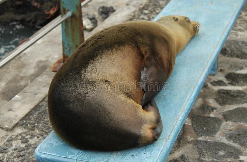 Otarie de Galapagos dormant sur un banc photos stock
