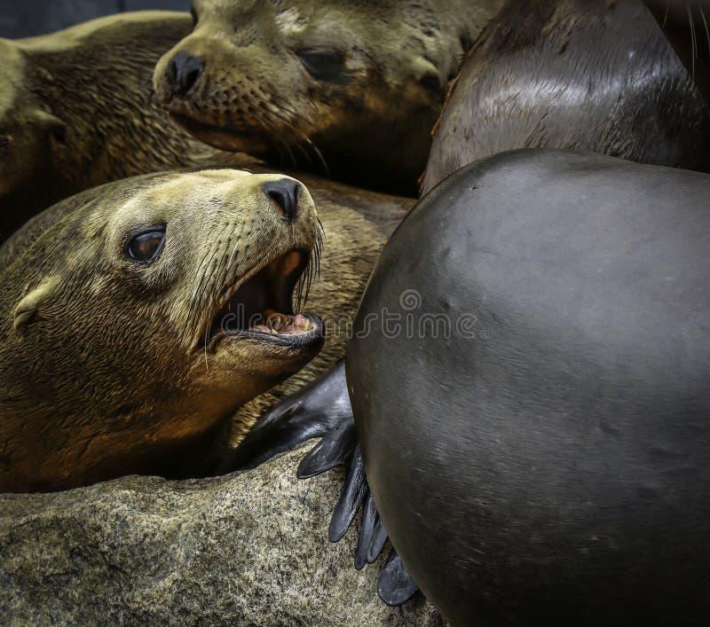 Otarie de la Californie photo libre de droits