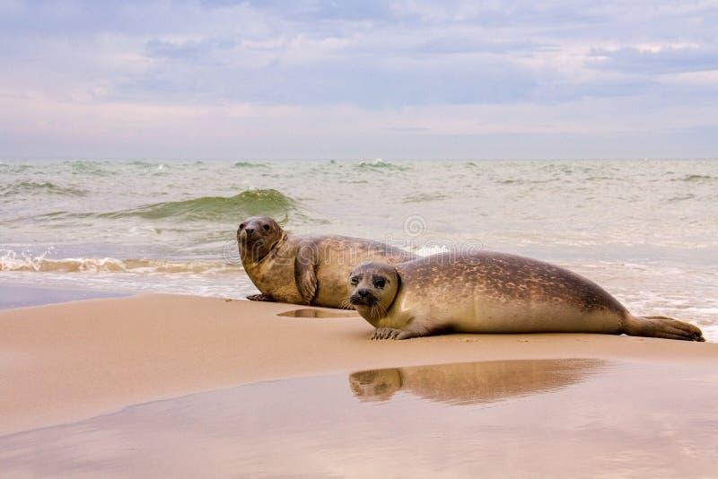 Otarie de regard drôle sur la plage du Danemark - le Grenen photo libre de droits