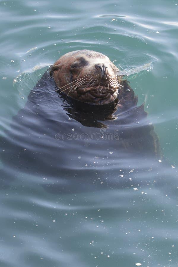 Otarie masculine se situant dans l'eau d'océan près du rivage sur un winte images stock