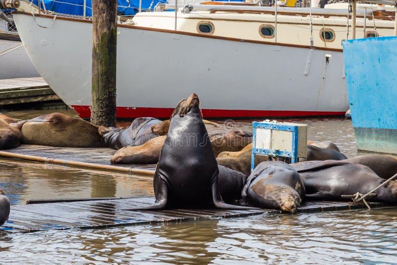 Otarie posant avec d'autres sur la jetée chez Moss Landing Harbor, baie de Monterey, la Californie photos libres de droits