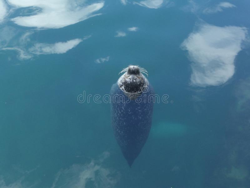 Otarie submergée dans l'eau dans la position verticale avec le hocido sur la surface observant le photographe sauvage de nature d photographie stock libre de droits